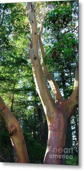 Arbutus Tree Metal Print