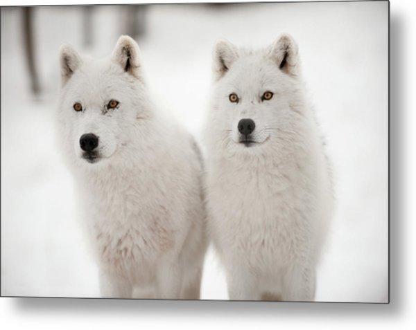 Arctic Duet Metal Print