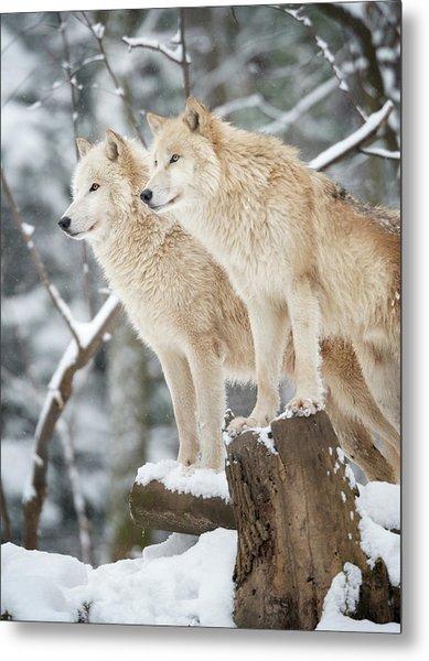 Arctic Wolves Pack In Wildlife, Winter Metal Print