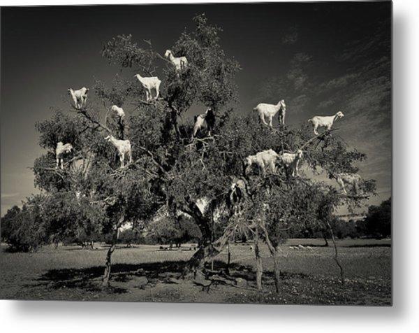 Argan Loving Goats Metal Print by Dario Puebla
