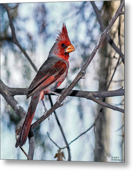 Arizona Cardinal Metal Print