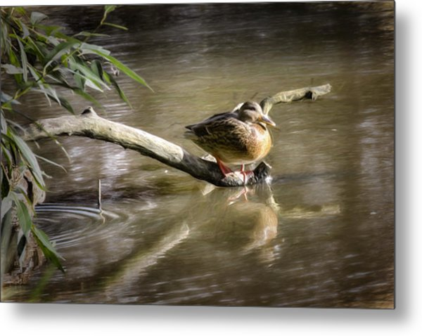 Artistic Paintiry Female Mallard Duck Sitting On A Log Near And Reflected In Water Metal Print