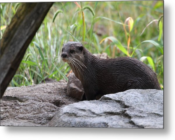 Asian Small Clawed Otter - National Zoo - 01137 Metal Print