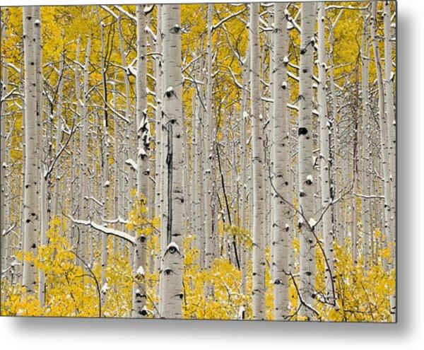 Aspen Forest In Autumn Metal Print by Leland D Howard
