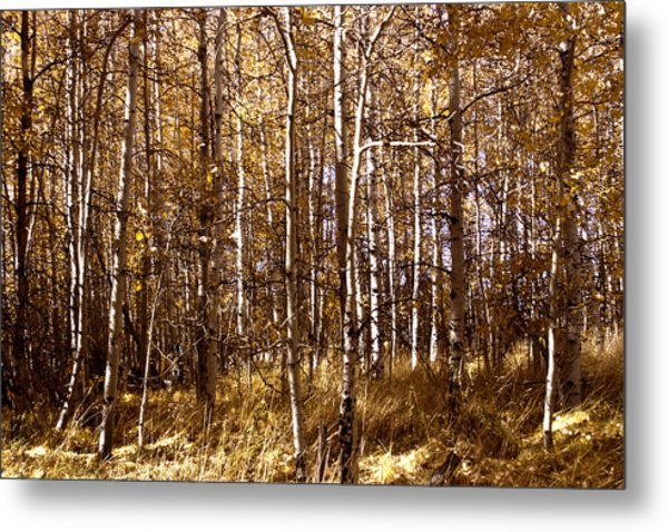 Metal Print featuring the photograph Aspen Grove In Lake Tahoe by William Havle