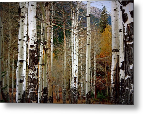 Aspen In The Rockies Metal Print