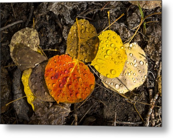 Aspen Leaves On Bishop Creek Metal Print