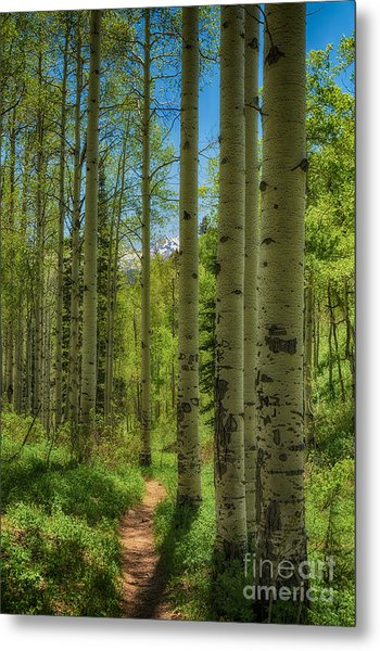 Aspen Lined Hiking Trail Hdr Metal Print by Mitch Johanson