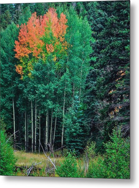 Aspen-orange Before Yellow Metal Print by Larry Bodinson
