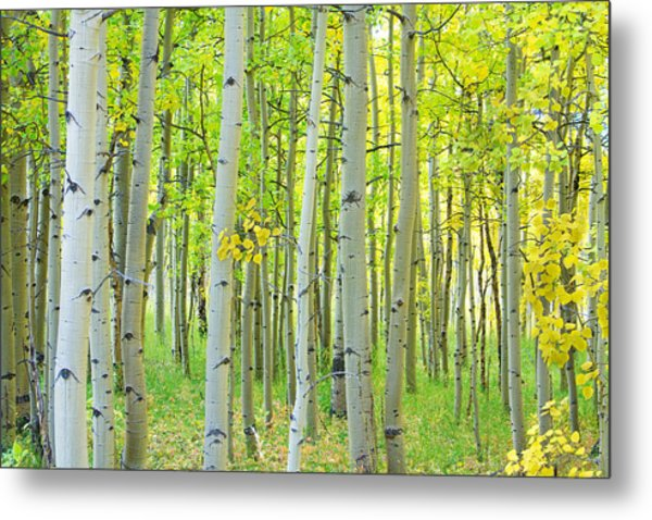Aspen Tree Forest Autumn Time  Metal Print
