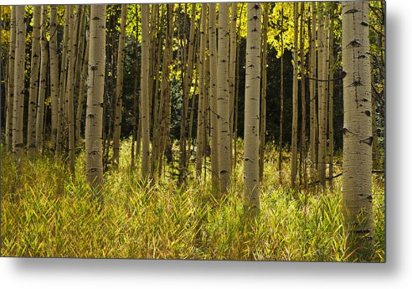 Aspen Trees All In A Row Metal Print
