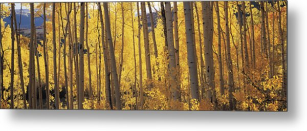Aspen Trees In Autumn, Colorado, Usa Metal Print