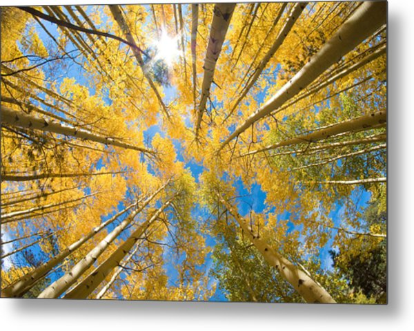 Aspen Trees Looking Up Metal Print
