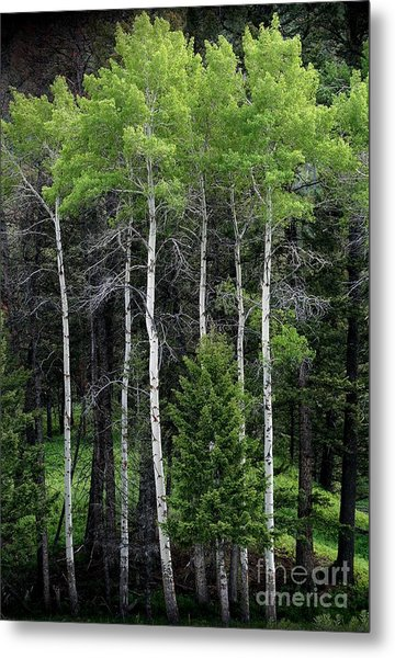 Aspens Of Yellowstone Metal Print