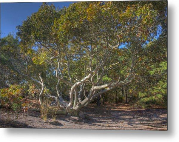 Asseteague Island Oak Metal Print