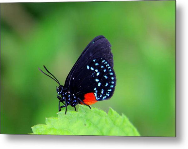 Atala Butterfly Metal Print