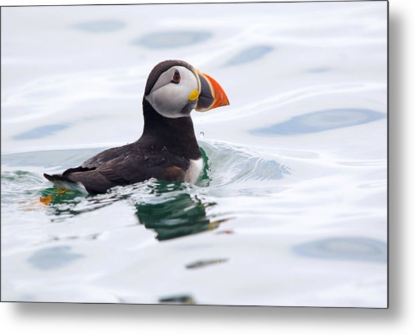 Atlantic Puffin. Metal Print