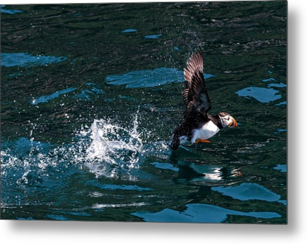 Atlantic Puffin Taking Off Metal Print
