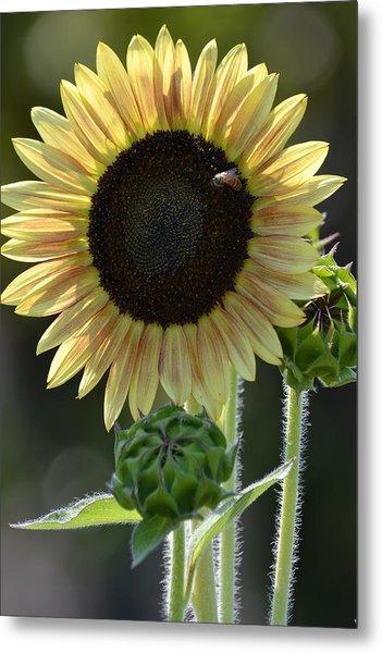 August Sunflower Metal Print