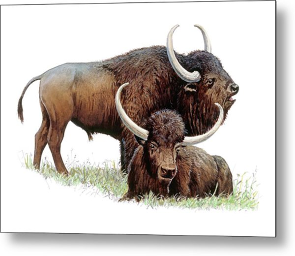 Aurochs Metal Print by Michael Long/science Photo Library