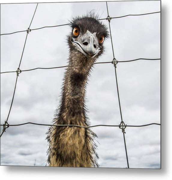Australian Emu Dromaius Novaehollandiae Metal Print by David Trood