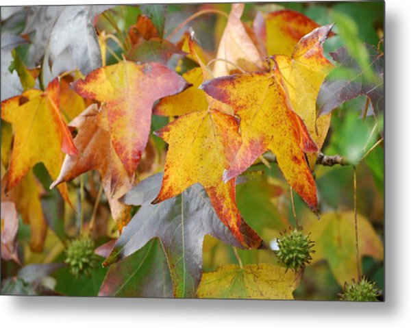 Autumn Acer Leaves Metal Print