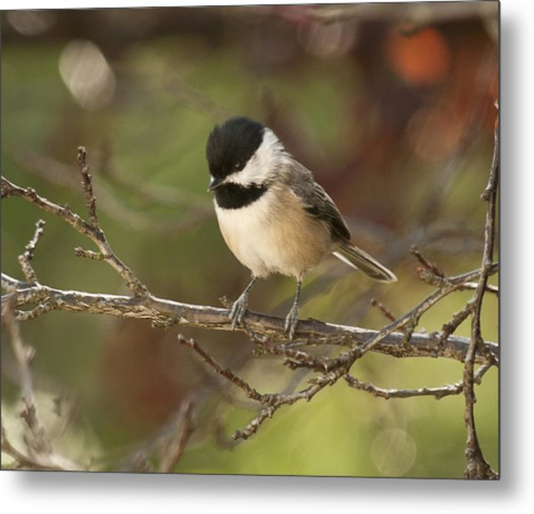 Autumn Colors Chickadee Metal Print