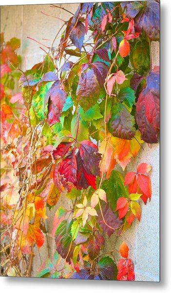 Autumn Colors Of Virginia Creeper Metal Print