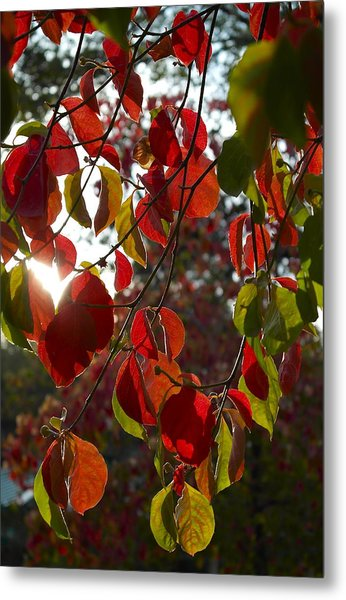 Autumn Dogwood In Evening Light Metal Print