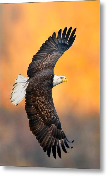 Autumn Eagle Metal Print