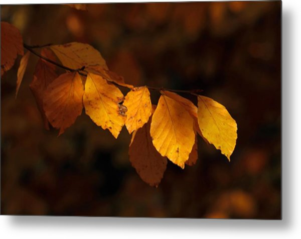 Autumn Gold Metal Print by Peter Skelton