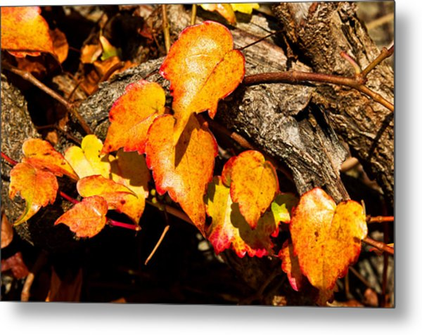 Autumn Ivy Metal Print