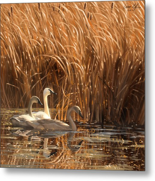 Autumn Light- Trumpeter Swans Metal Print