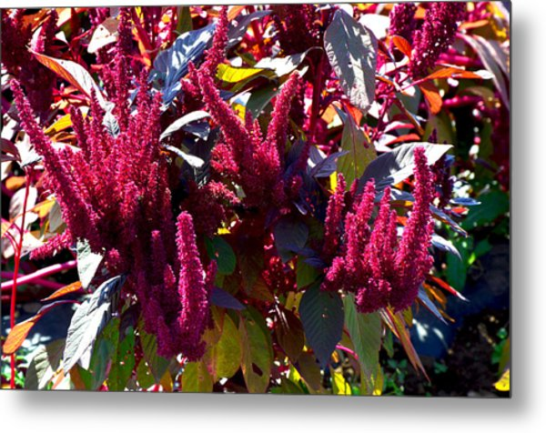 Autumn Magenta Jewel Alstede Farm Metal Print