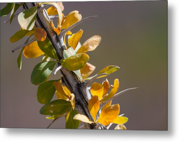 Autumn Ocotillo Metal Print