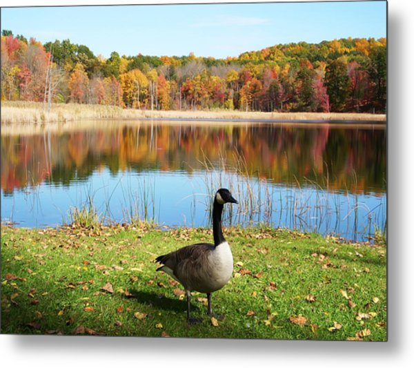 Autumn Pond Goose Metal Print
