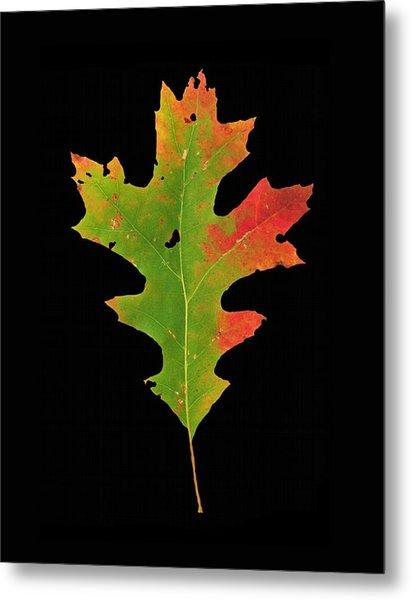 Autumn Red Oak Leaf 1 Metal Print