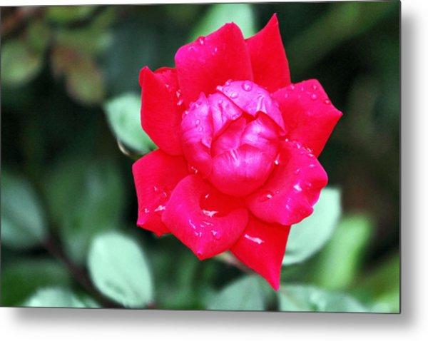 Autumn Rose After The Rain Metal Print