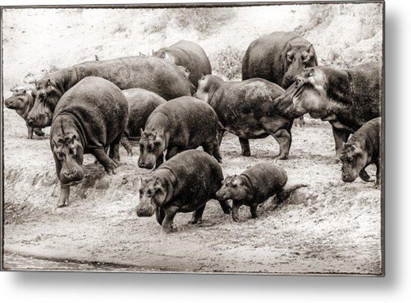 Aware Hippos Metal Print