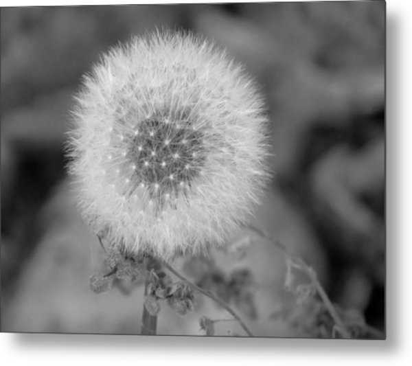 B And W Seed Head Metal Print