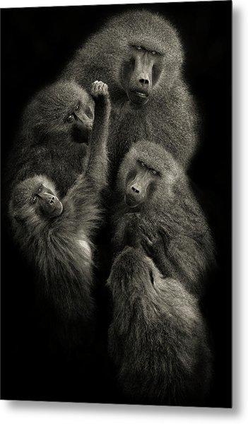 Baboons  United  Metal Print