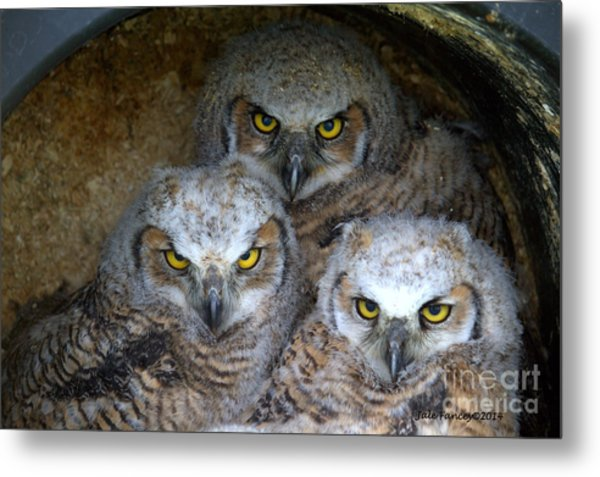 Baby Big Horned Owls Metal Print