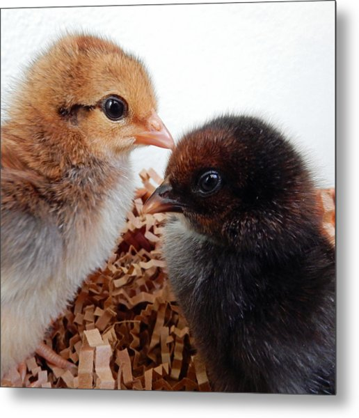 Baby Chicks Metal Print