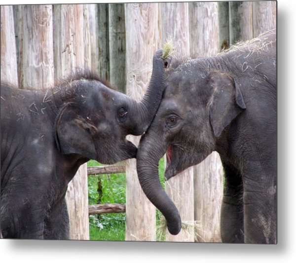 Baby Elephants - Bowie And Belle Metal Print