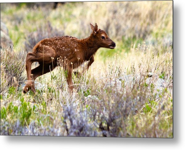 Metal Print featuring the photograph Baby Elk by Shane Bechler