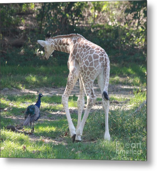 Baby Giraffe And Peacock Out For A Walk Metal Print