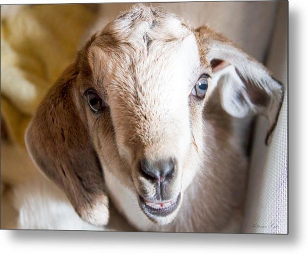 Baby Goat Face Metal Print