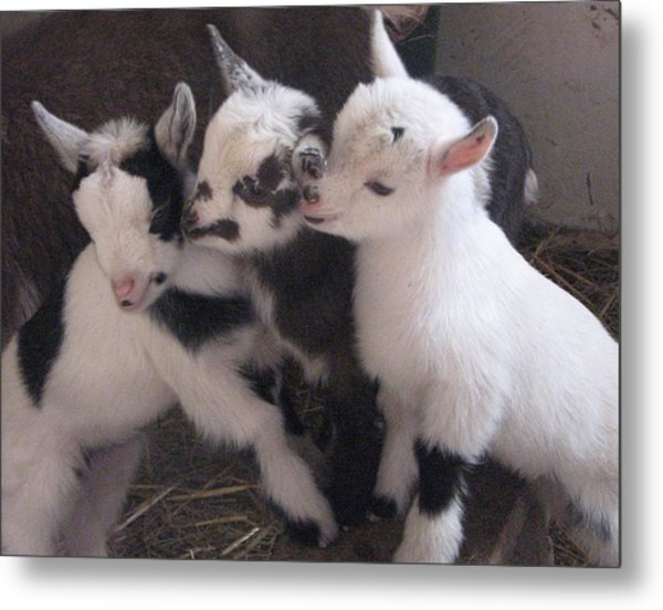 Baby Goats 1742 Metal Print by Carol Hoffman