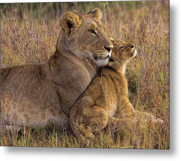 Baby Lion With Mother Metal Print by Henry Jager