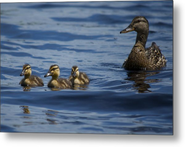 Baby Mallards And Mother Metal Print